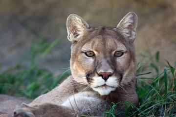 Foto op Textielframe Puma Portrait of a Mountain Lion