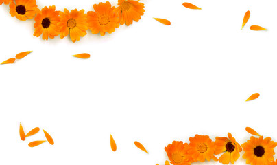 Frame of flowers and petal Calendula ( Calendula officinalis, pot marigold, ruddles ) on a white background with space for text. Medicinal herb. Top view, flat lay
