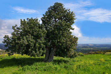 Countryside Panorama in spring, old olive tree - Cyprus