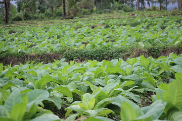 tobacco fields in probolinggo, Indonesia
