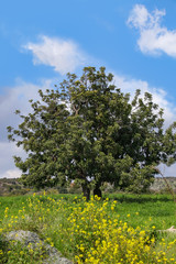 Countryside Panorama in spring, beautiful olive tree - Cyprus