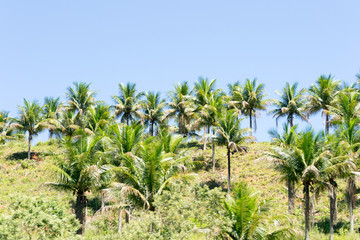 Brazilian atlantic forest landscape in the Espirito Santo state during a road trip, palm trees everywhere