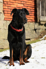 The black, large dog of French Shepherd dog Beauceron lies in snow in backyard in wintertime and guarded home.