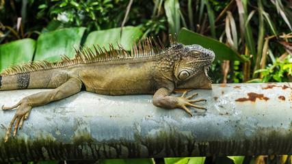 Costa Rica iguana bridge