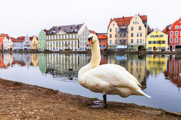 Fototapete -  Landshut town in Isar river,Bavaria, Germany. scene with swan close up