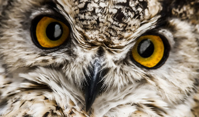Wall Mural - A close look of the beak and orange eyes of a owl. Selective focus.