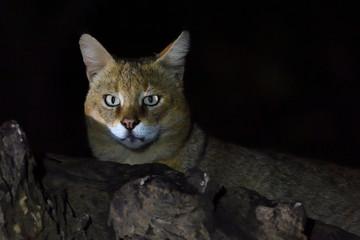 Jungle cat in India