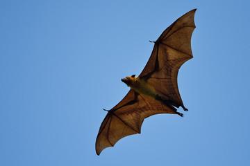 Flying fox bat in blue sky