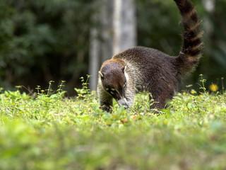 South American coati, Nasua nasua, looking for food in the rainforest, Guatemala