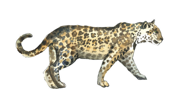 Watercolor leopard  walking illustration hand drawn isolated on white. Watercolor and ink.