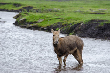 A young Pere Davids Deer stands in a shallow river as the rain falls around it.