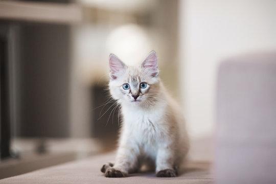 SIberian Neva Masquerade kitten with beautiful blue eyes sitting indoors. Closeup portrait of cute kitten with gray hair