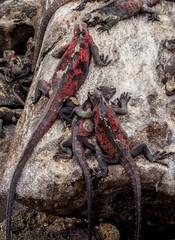 Marine iguanas (Amblyrhynchus cristatus), Punta Suarez, Espanola or Hood Island, Galapagos, Ecuador