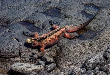 Marine iguana (Amblyrhynchus cristatus), Floreana or Charles Island, Galapagos, Ecuador
