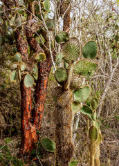 Opuntia echios and palo Santo Trees by the Tortuga Bay trail, Santa Cruz or Indefatigable Island, Galapagos, Ecuador