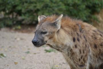 Foto op Aluminium Hyena zoo