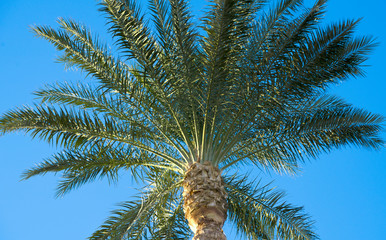 Date palm tree against the sky. Close up