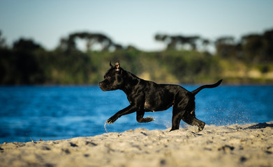 Black Staffordshire Bull Terrier dog running in sand by water
