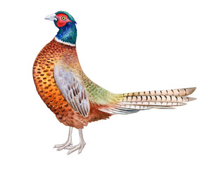 Pheasant. Beautiful bright realistic bird of paradise isolated on white background. Watercolor illustration. giraffe with teeth. Hand painted. Template. Close-up. Clip art. Hand drawn.