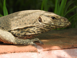 Iguana spotted in ancient site Sri Lanka