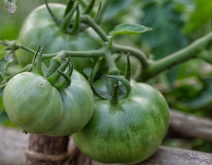 green tomatoes close up photography