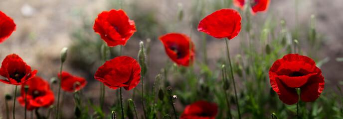 Red poppy on green weeds field. Poppy flowers.Close up poppy head. red poppy. Papaver rhoeas
