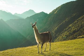 gray llama standing on grass hill