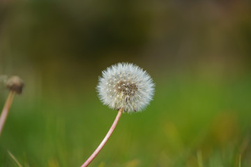 selective photography of white dandelion