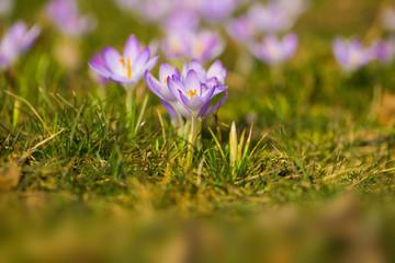 Purple crocuses in a spring meadow