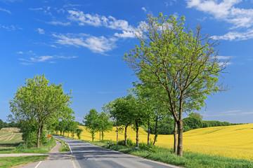Landschaft mit Rapsfeld und Landstraße (Eschenallee) mit blauem HImmel in der Holsteinischen Schweiz
