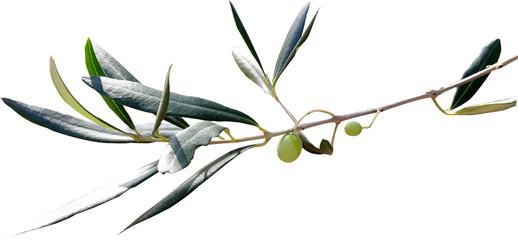 Ga艂膮zka oliwna
