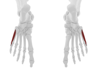 3d rendered medically accurate illustration of the Flexor Digiti Minimi Brevis