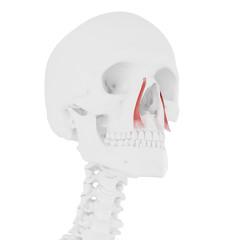 3d rendered medically accurate illustration of the levator labii superioris alaeque nasi