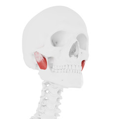 3d rendered medically accurate illustration of the Deep Masseter