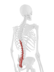 3d rendered medically accurate illustration of the Multifidus