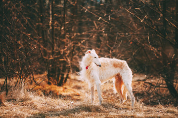 Dog Russian Borzoi Wolfhound Head , Outdoors Spring, Autumn Season