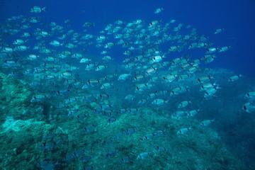 School of fish two banded seabream Diplodus vulgaris underwater in the Mediterranean sea, Medes Islands, Costa Brava, Spain