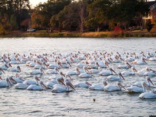 Migrating pelicans at University Lake, Baton Rouge, Louisiana, USA