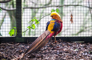 A golden pheasant (Chrysolophus pictus) displaying vibrant plumage colors.