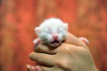 little newborn white kitten in hands