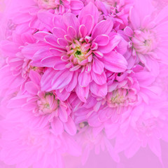 pale violet colored chrysanthemum closeup, blurred space for text