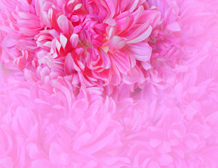 pale violet colored fake chrysanthemums closeup, blurred space for text