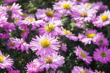 Chrysanthemums in summer garden. Floral pattern. Outdoor. Flowers wildfield and annuals.