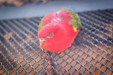 Close-up portrait of Chattering Lory (Lorius garrulus), beautiful red parrot sitting on a metal grid
