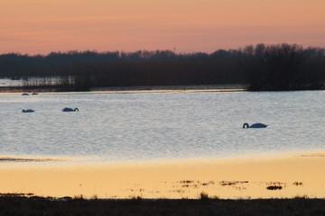 Fototapeta Łabedzie (Park Narodowy Ujscie Warty) obraz