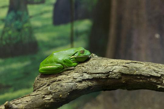 Green Tree Frog in Zoo Exhibit