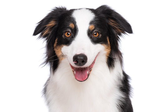Close up portrait of cute young Australian Shepherd dog with tongue out, isolated on white background. Beautiful adult Aussie, looking at camera.