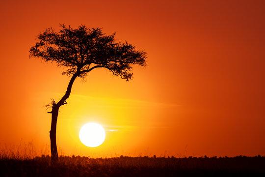 Acacia tree and the setting sun in the Masai Mara.