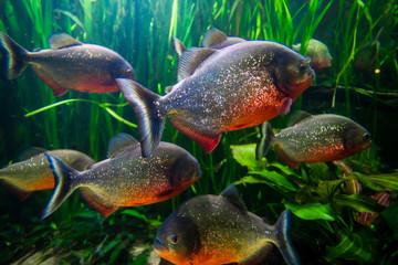 piranha fish underwater close up portrait