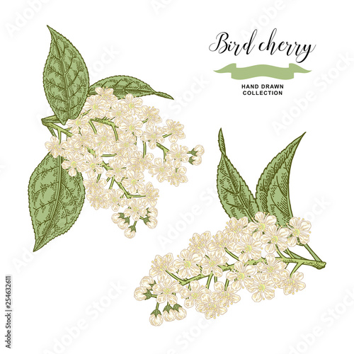 Bird Cherry Branch Isolated On White Background Hand Drawn